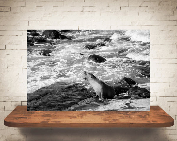 Sea Lion Photograph Black White