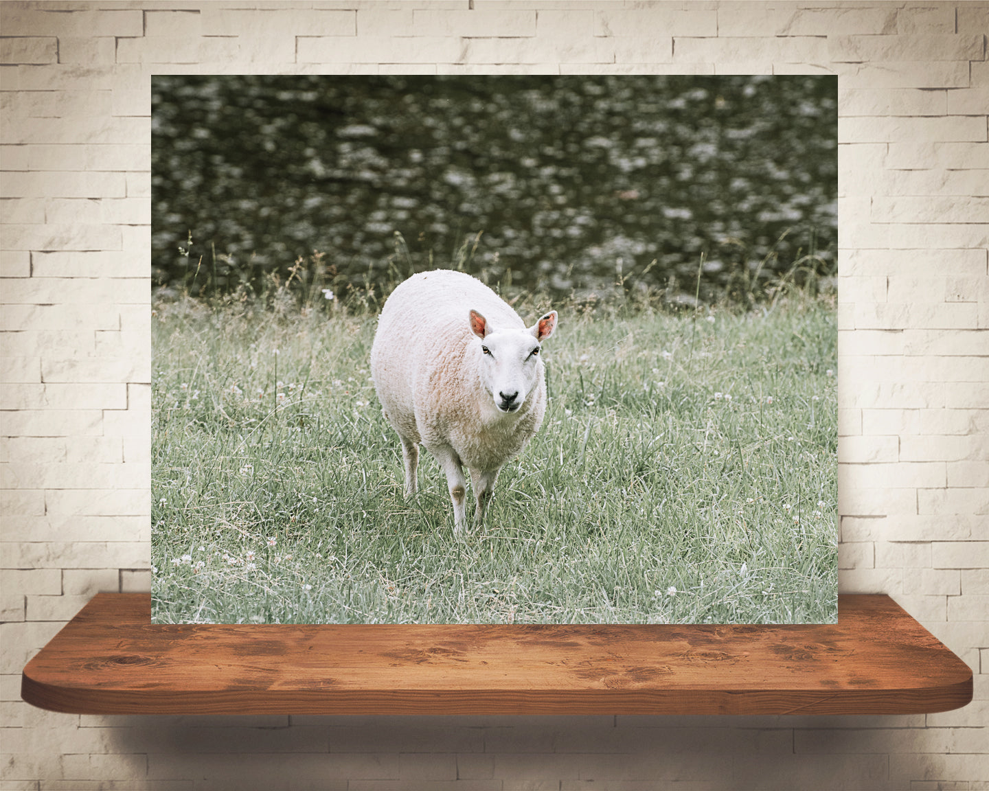 Sheep Photograph