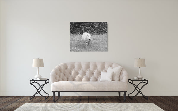 Sheep Photograph Black White