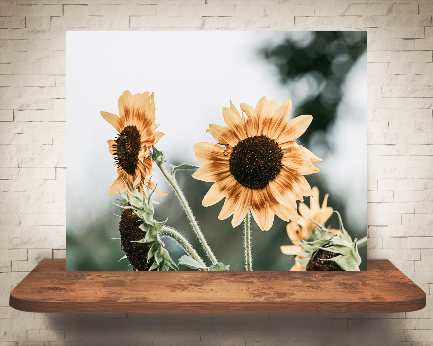 Yellow Sunflower Photograph