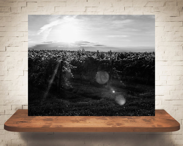 Vineyard Sunset Photograph Black White