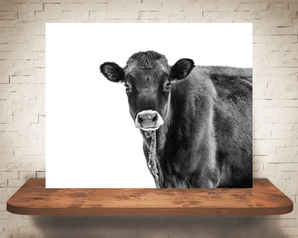 Jersey Cow Photograph Black White