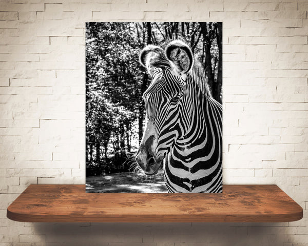 Zebra Photograph Black White
