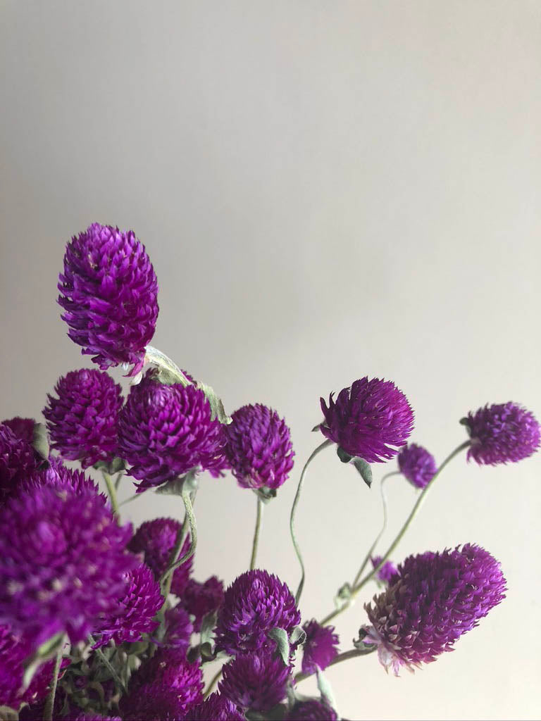 Globe Amaranth - Purple