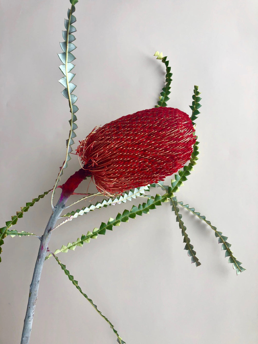 Banksia - Red
