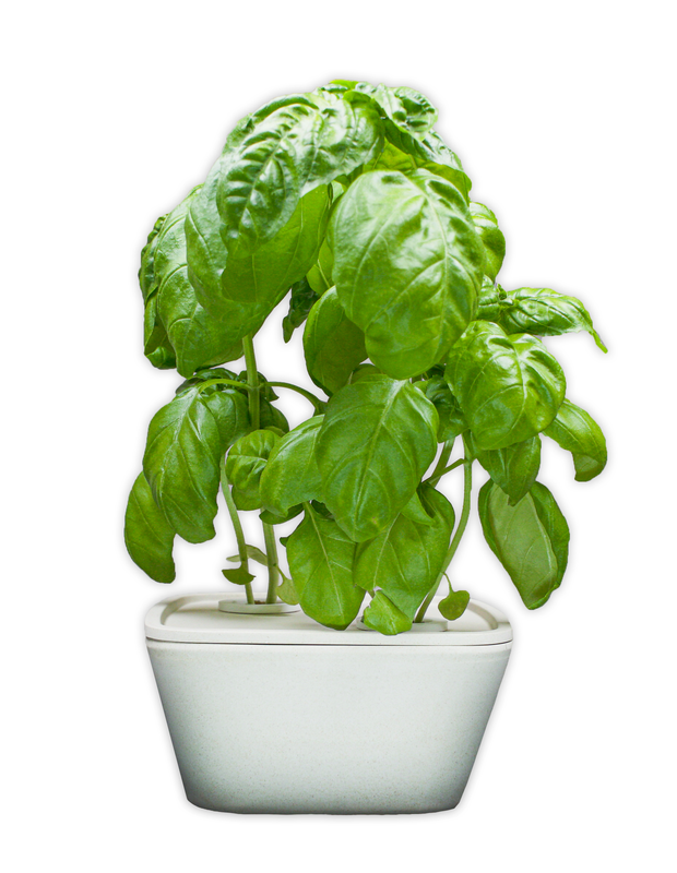 Basil Plant Cups 8-pack