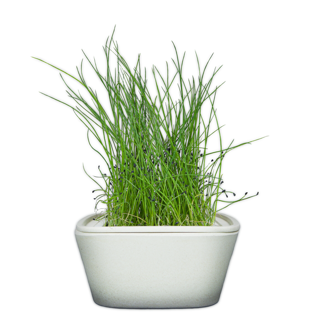 Chives Plant Pad 4-pack