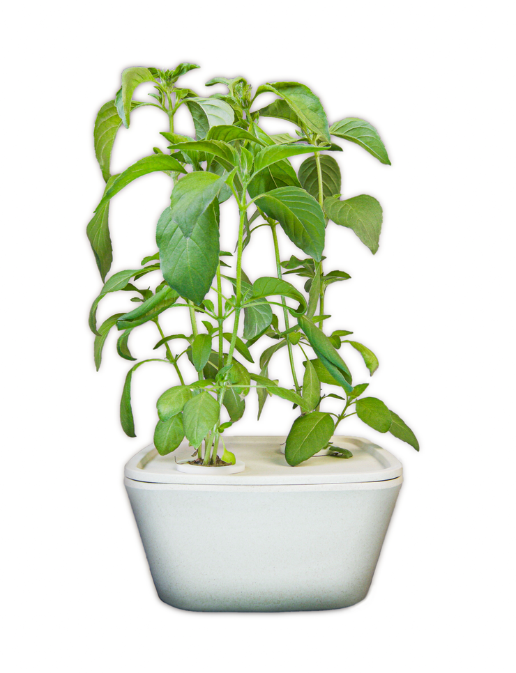 Lemon Basil Plant Cups 8-pack