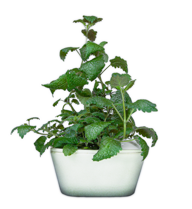 Lemon balm Plant Cups 8-pack