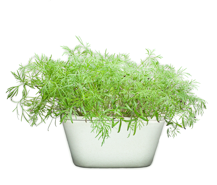 Dill Plant Pad 4-pack