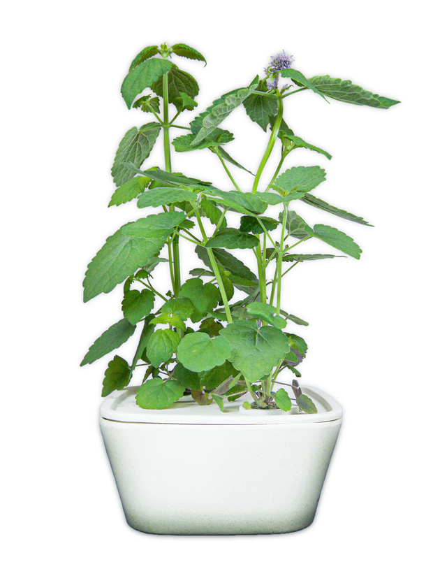 Licorice Plant Cups 8-pack