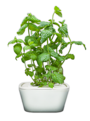 Peppermint Plant Cups 8-pack