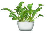 Rucola Plant Cups 8-pack