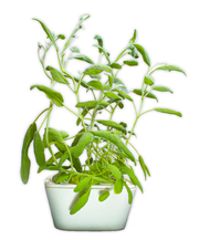 Sage Plant Cups 8-pack