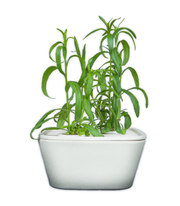 Tarragon Plant Cups 8-pack