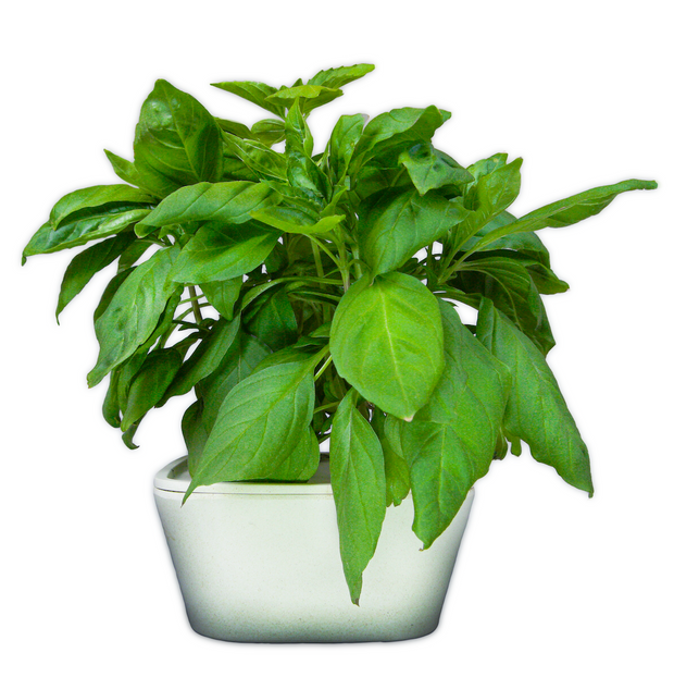 Thai Basil Plant Cups 8-pack