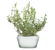 Thyme Plant cups 8-pack