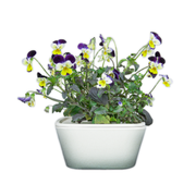 Violets Plant Cups 8-pack