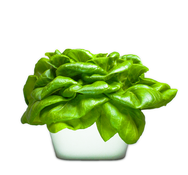 Butter Lettuce Plant Cups 8-pack