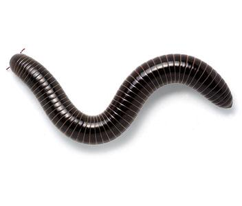 Giant Black Millipede
