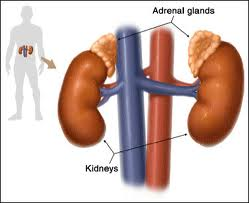 Adrenal Fatigue Part I: A Holistic Western Perspective