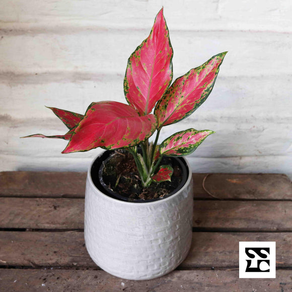 Aglaonema Cherry Red - Sous La Canopée