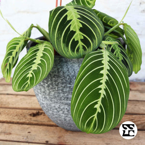 Maranta Lemon Lime Suspension 2