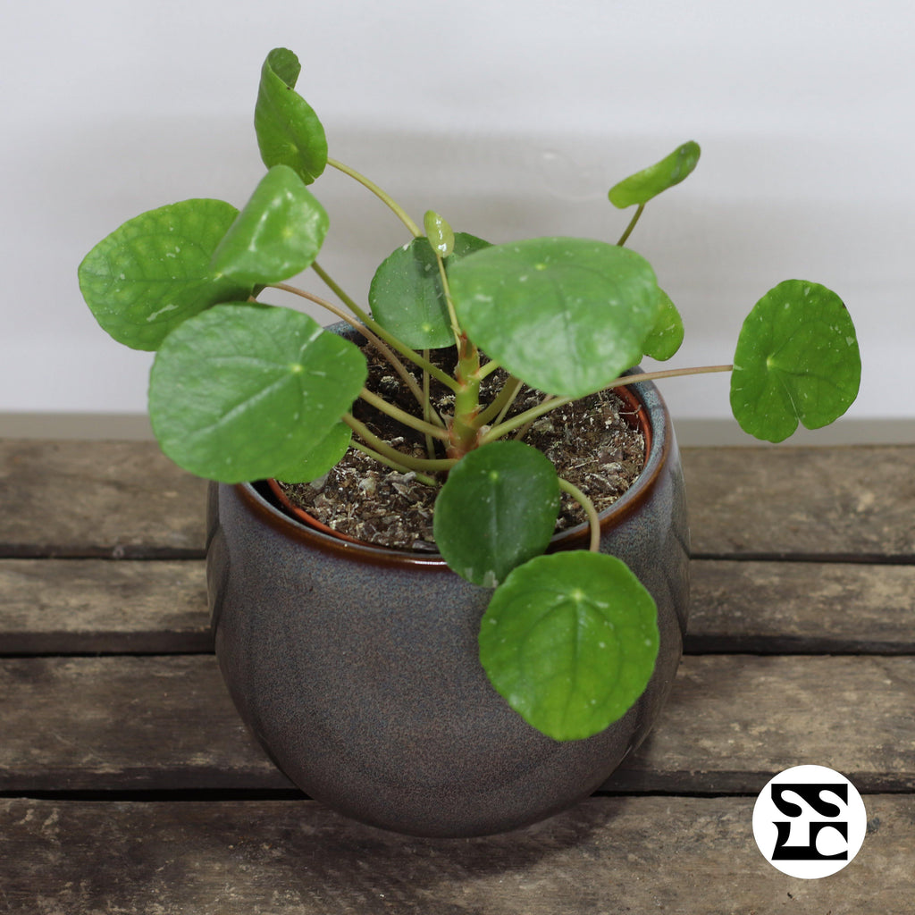 Pilea White Splash