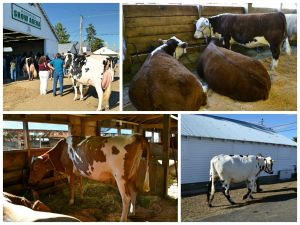 CowCollageOne
