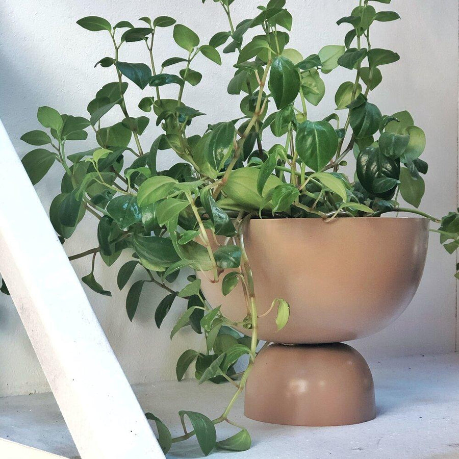 Lightly large goblet with Peperomia