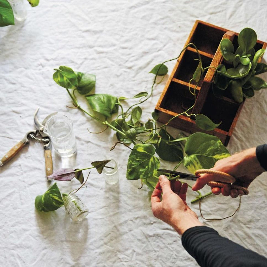 The Plant Society Workshops Beginner's Guide to Indoor Gardening Paddington plant plants secateurs propagation devils ivy succulents