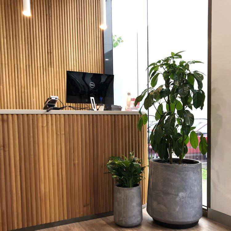 Tapered Planter Cementgrey with Schefflera amate (Umbrella Tree)