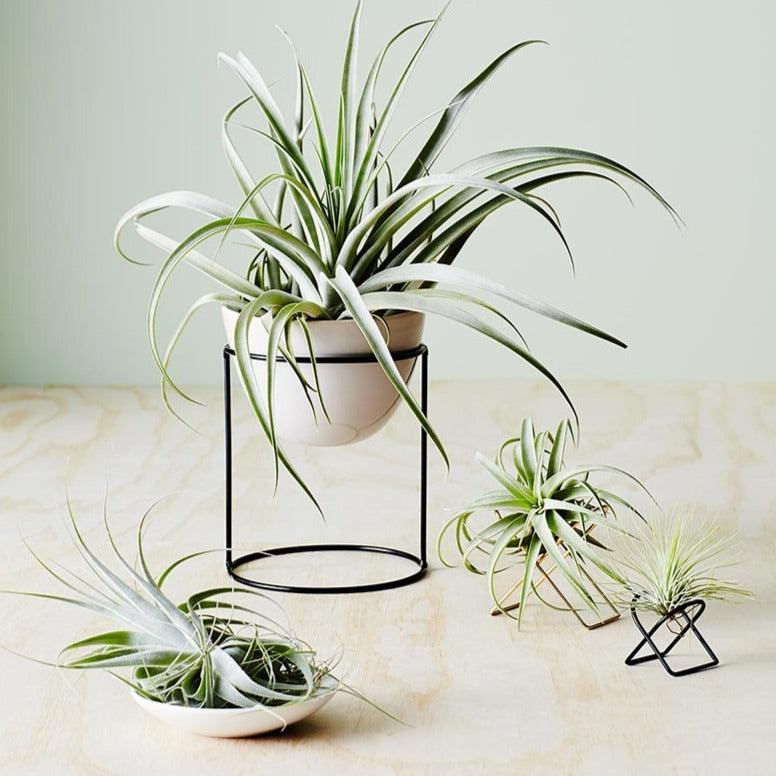 Arc Tillandsia Stand Ivy Muse air plant brass xerographica