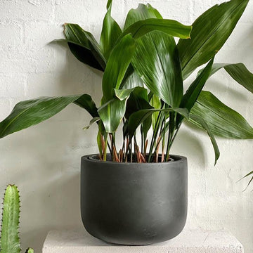 Cast-iron Plant (Aspidistra elatior) - THE PLANT SOCIETY ONLINE OUTPOST