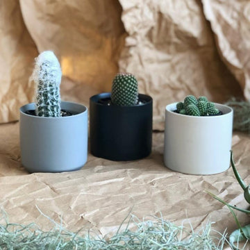 Baby Cactus in Ceramic Planter - THE PLANT SOCIETY ONLINE OUTPOST