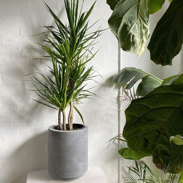 Dragon Tree (Dracaena marginata) - THE PLANT SOCIETY ONLINE OUTPOST