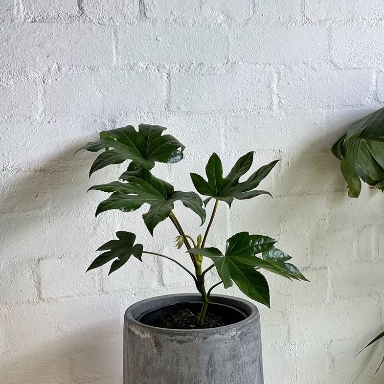 Paper Plant (Fatsia japonica) - THE PLANT SOCIETY ONLINE OUTPOST