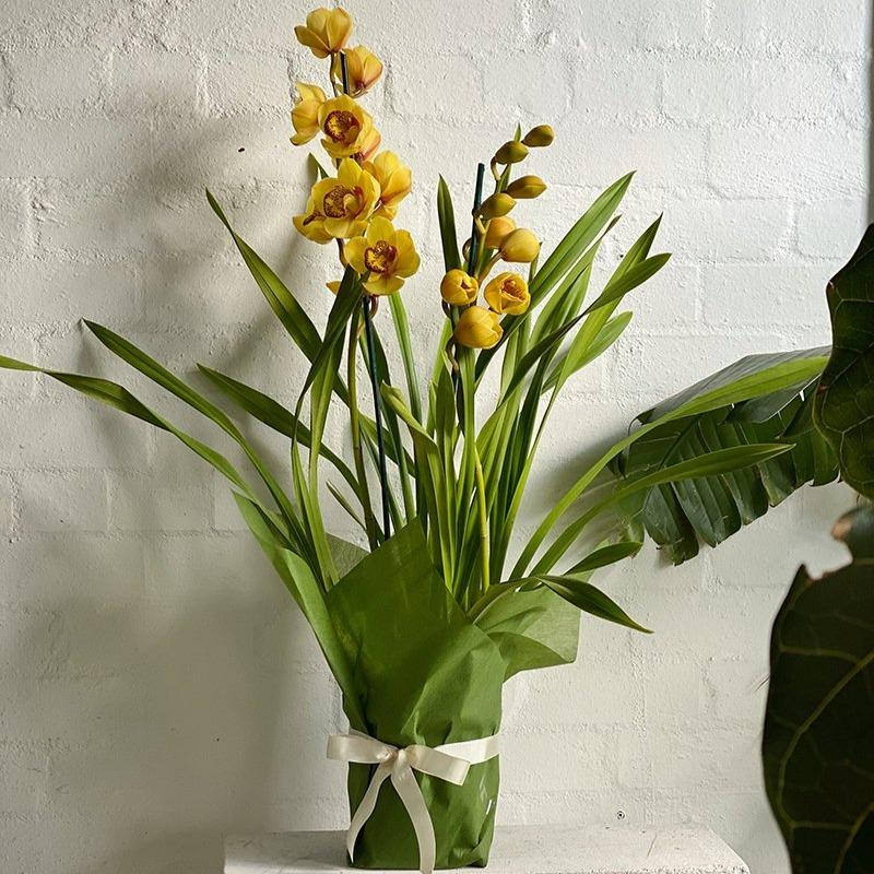 Cymbidium Orchid yellow.jpg