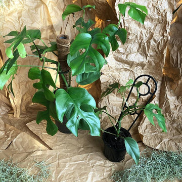 Mini Monstera (Rhaphidophora tetrasperma) - THE PLANT SOCIETY ONLINE OUTPOST