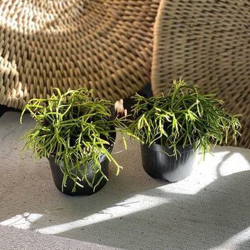 Mistletoe cactus (Rhipsalis) - THE PLANT SOCIETY ONLINE OUTPOST