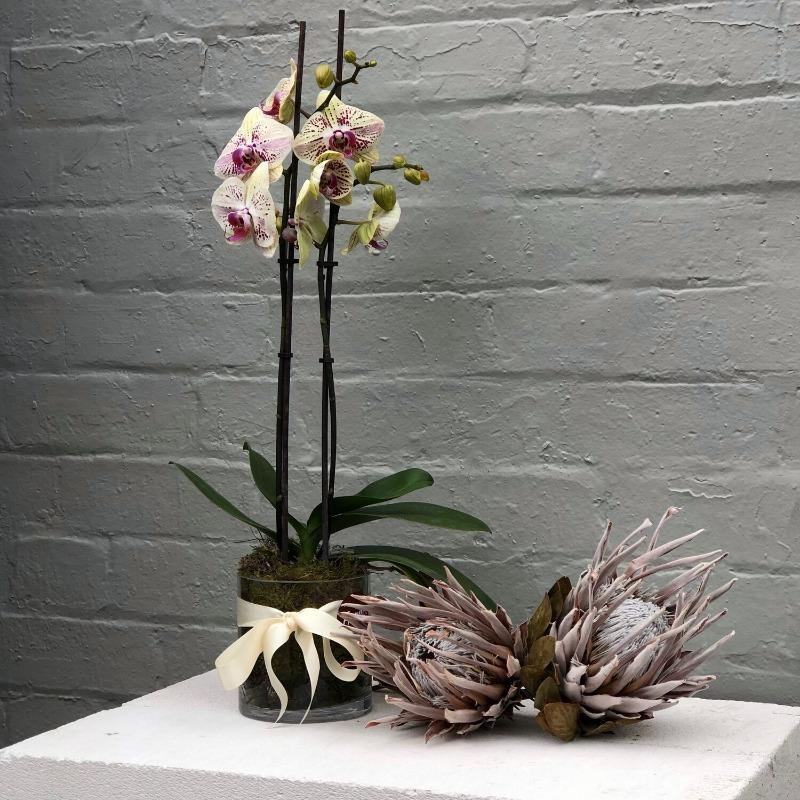 Pink Moth Orchid (Phalaenopsis) in Glass Vase - THE PLANT SOCIETY ONLINE OUTPOST