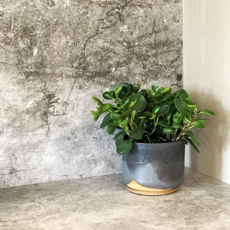 Peperomia Jade - Indoor Plant - House Plant at The Plant Society