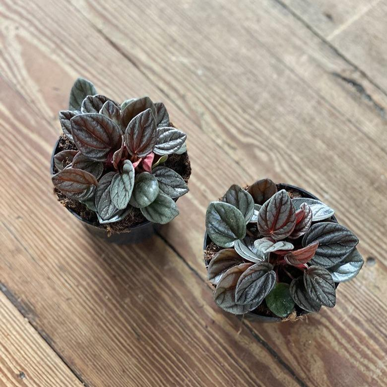 Radiator Plant (Peperomia sunrise) - THE PLANT SOCIETY ONLINE OUTPOST