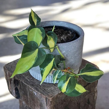 Philodendron Brazil (Philodendron hederaceum 'brasil') - THE PLANT SOCIETY ONLINE OUTPOST