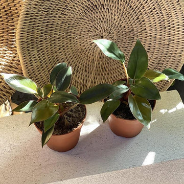 Congo Philodendron (Philodendron rojo congo) - THE PLANT SOCIETY ONLINE OUTPOST