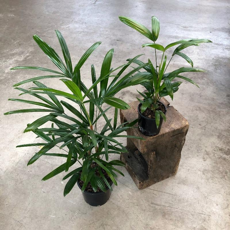 Rhapis Palm (Rhapis excelsa) - THE PLANT SOCIETY ONLINE OUTPOST