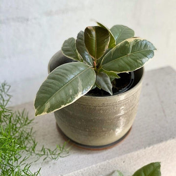 Variegated Rubber Plant (Ficus elastica 'tineke')
