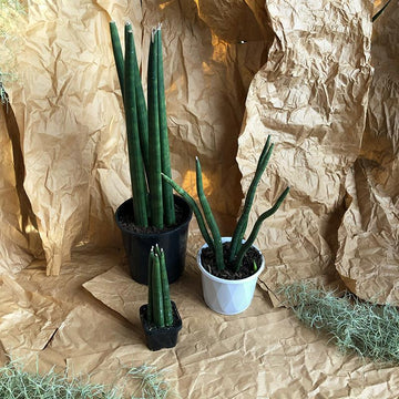 Cylindrical snake plant (Sansevieria cylindrica) arid low light beginner