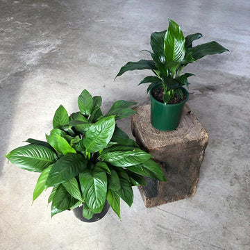Peace Lily (Spathiphyllum) - THE PLANT SOCIETY ONLINE OUTPOST