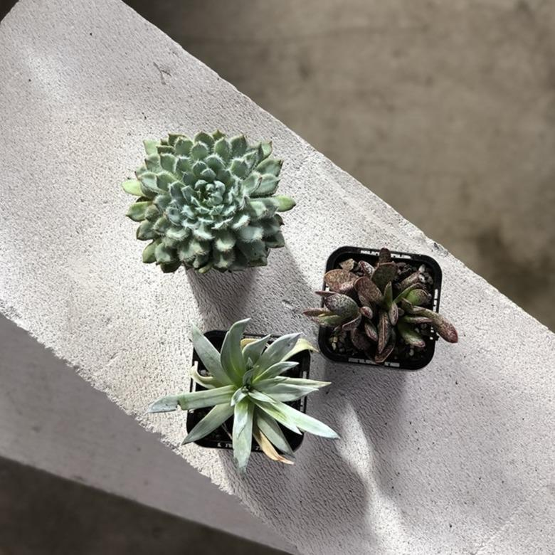 Succulent Babies - THE PLANT SOCIETY ONLINE OUTPOST